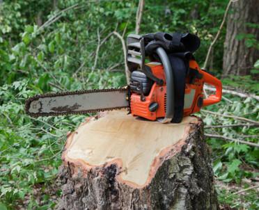 articleImage: MŚ: przepisy ws. wycinki drzew ujawniły słabość samorządów