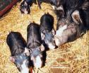 Obrazek do artykułu: Rząd we wtorek zajmie się przepisami o uboju zwierząt