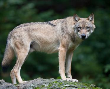 articleImage: Sąd podtrzymał wyrok ws. zastrzelenia chronionej wilczycy i jej oskórowanie