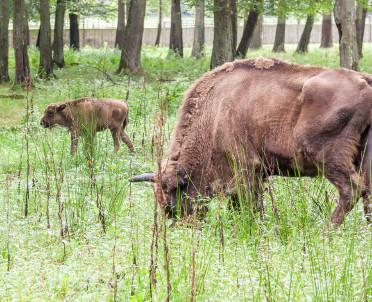 articleImage: Rolnicy mogą oddać w dzierżawę łąki na potrzeby żubrów