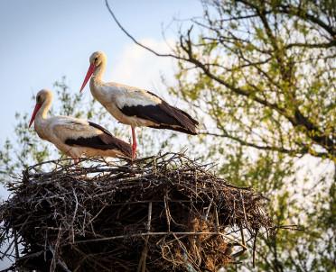 articleImage: Ornitolodzy: na podstawie wagi bocianiego gniazda można określić ile ma lat