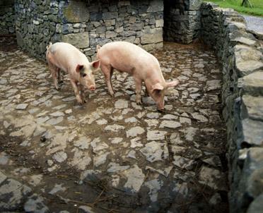 articleImage: Trzeba rejestrować nawet jedną świnię