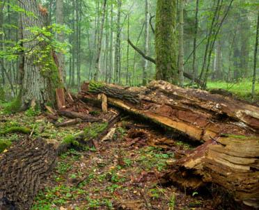 articleImage: W kwietniu nasadzenia drzew i cięcia sanitarne w Puszczy Białowieskiej