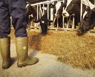 articleImage: Rząd chce uszczelnić system znakowania zwierząt hodowlanych