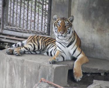 articleImage: Tygrys zagryzł pracownika, ale jego szef niewinny