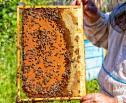Obrazek do artykułu: Pomorskie: rolnik wytruł tysiące pszczół